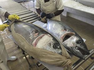 tiefgefrorener Thunfisch