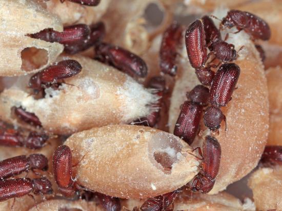 Schädlinge in Getreide. Welche Art der Sanierung?